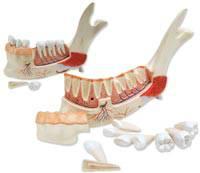 Lower Jaw Anatomy Model