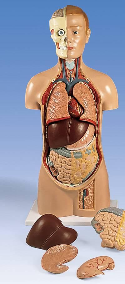 Human Body Torso Anatomical Model & Muscle Torso Anatomy Models ...