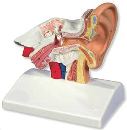 1.5 Times Life Size Human Ear Model