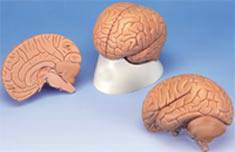 Brain Introductory Anatomical Model