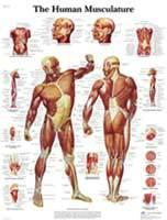 Human Musculature Sticky Chart