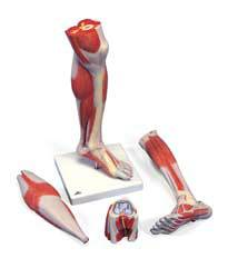 Lower Muscle Leg Model