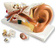 3 Times Life Size Anatomical Ear Model