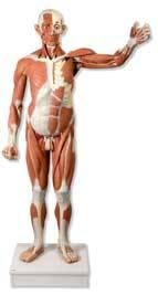 Male Muscular Model