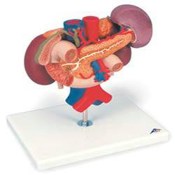 Kidney Anatomical Model