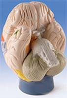 Functional-Center Anatomy Brain