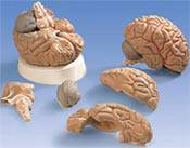 Anatomy Brain Model
