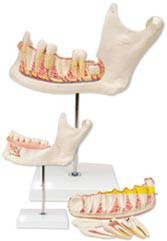 Half Lower Jaw Anatomy Model