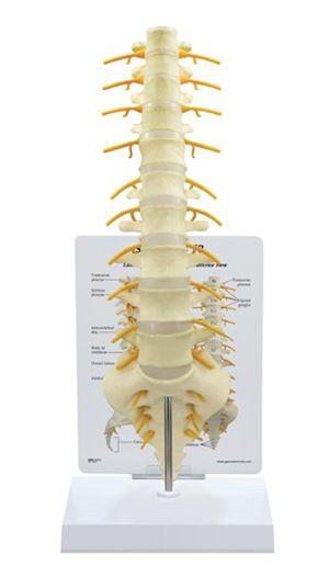 Sacrum T8 Spine
