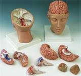 Brain w/ Arteries Model