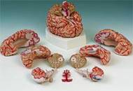 Brain w/ Arteries Anatomical Model
