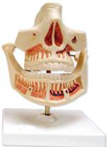 Adult Dentures Anatomical Model