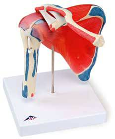 Shoulder Joint w/ Rotator Cuff Model