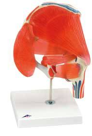 Anatomical Hip Joint w/ Removable Muscles Model