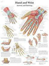 Professional Anatomical Hand and Wrist Chart