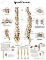 Professional Spinal Column Chart