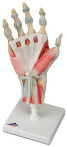 Anatomical Hand Skeleton Model Ligaments  Muscles