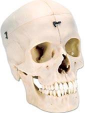Bonelike Human Skull