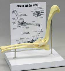 Canine Elbow Model