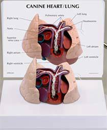 Canine Heart & Lung Model