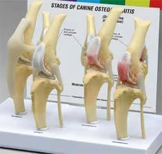Canine Osteoarthritis Knee Models