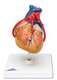 Heart w/ Bypass Model
