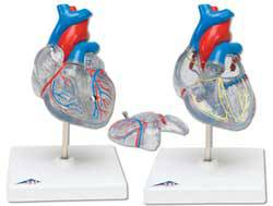Heart w/ Conducting System Model