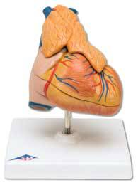 Heart Thymus Model