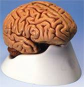 Medical Anatomy Brain