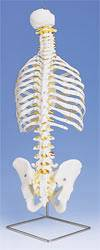 Classic Flexible Spine w/ Ribs Model