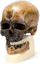 Cro-Magnon Anthropological Skull