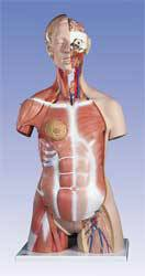 Dual-Sex Muscle-Torso Model