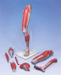 Deluxe Muscle Leg Model