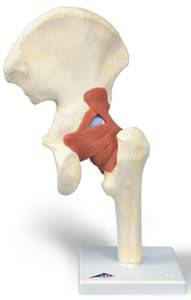 Deluxe Anatomical Functional Hip Joint Model