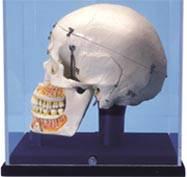Deluxe Demonstration Skull w/ Display Case