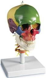 Skull on Cervical Spine Model