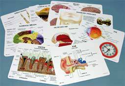 Educational Human Anatomy Cards