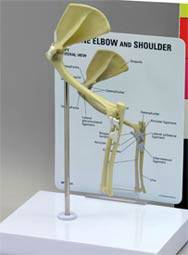 Feline Elbow & Shoulder Model