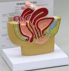 Female Pelvis Cross Section