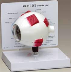 Full Human Eye Model