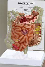 GI Tract & Colon Model