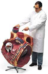 Giant Anatomical Heart, 8X Life Size Model