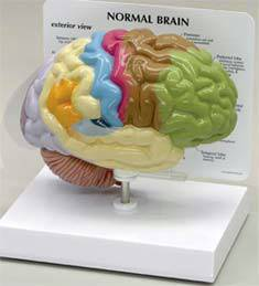 Half Brain Model - Sensory  Motor Areas