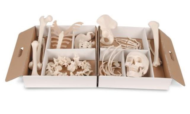 Half Skeleton Disarticulated Model