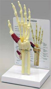 Hand & Wrist Model w/ Carpal Tunnel