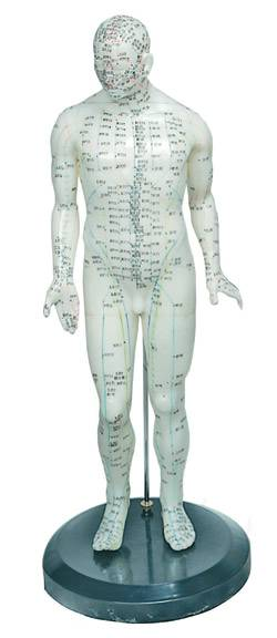 Human Acupuncture Model Male 18 in.