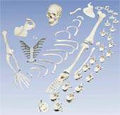 Human Disarticulated Full Skeleton Model