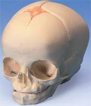 Human Fetal Skull