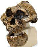 Anthropological Skull Model