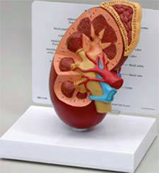 Anatomical Kidney Model
